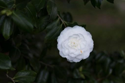 031517one white camellia