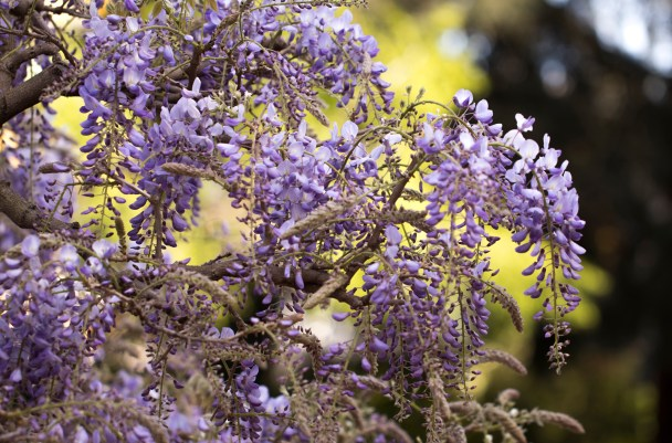 032717wisteria waves green back
