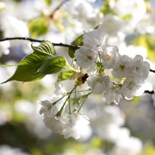 032817japanses tea garden white cloud tree