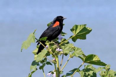 041917-redwing blackbird