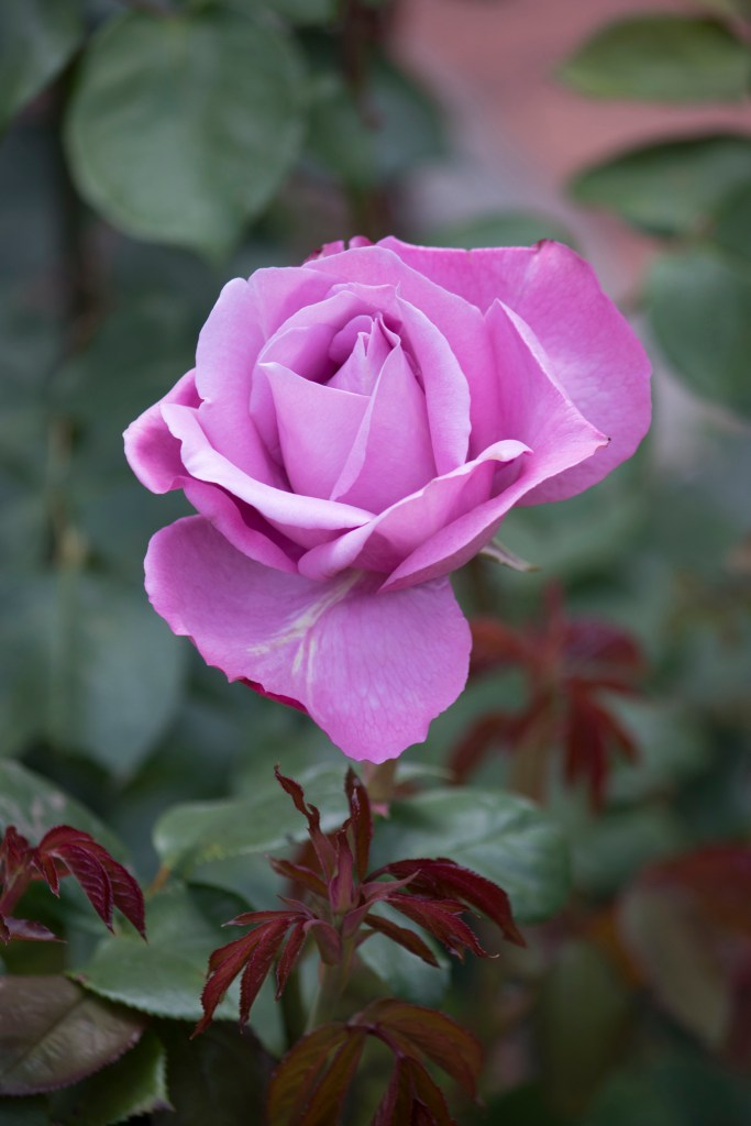 042517lilac rose