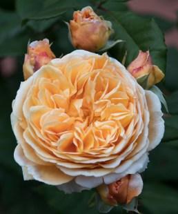 042517really ruffled rose