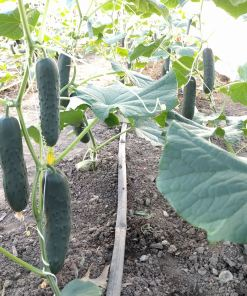 cucumbers hanging on the vine