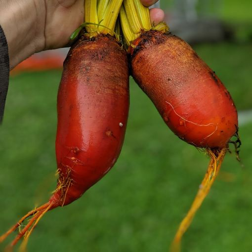 orange long beets