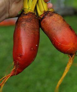 orange long beets
