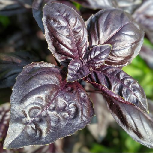 purple colored basil leaves