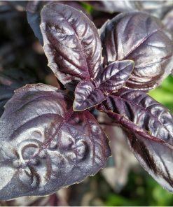 purple colored basil leaves