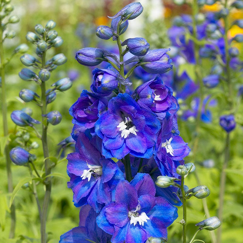 (Sorry, sold out) Guardian Blue Delphinium Image