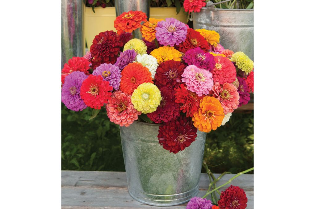 (Sold out) Zinnia - Benary Giant Mix Image