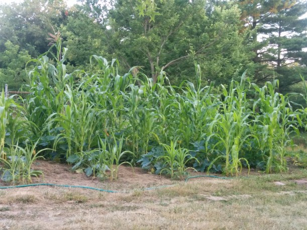 This photo shows the full planting. The corn on the edge is stunted.