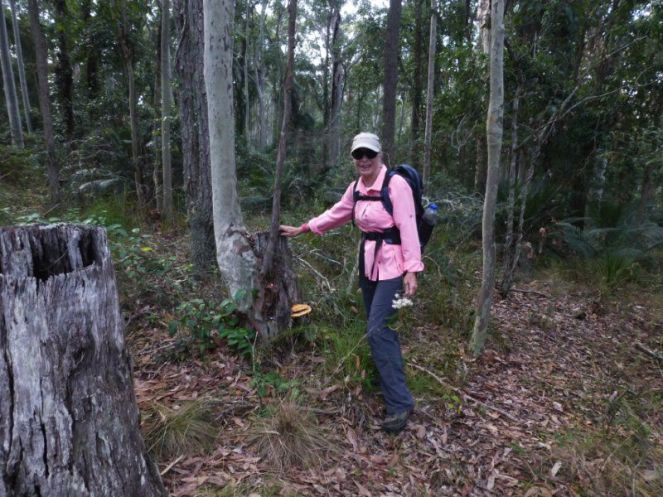 Sharon and tenacious Spotted gum