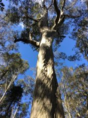 Huge spotted gum
