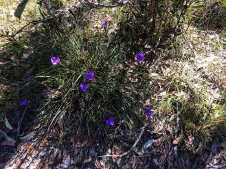 Native iris (Patersonia)