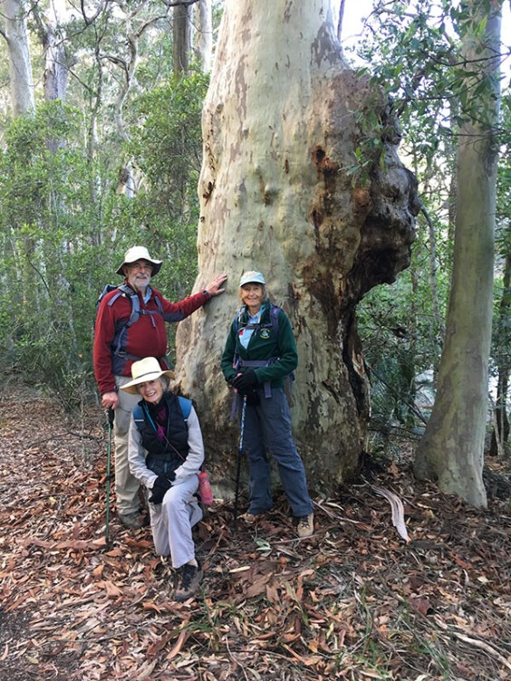 Val, Bob and Mary take a close look at this very knobbly spotted gum.