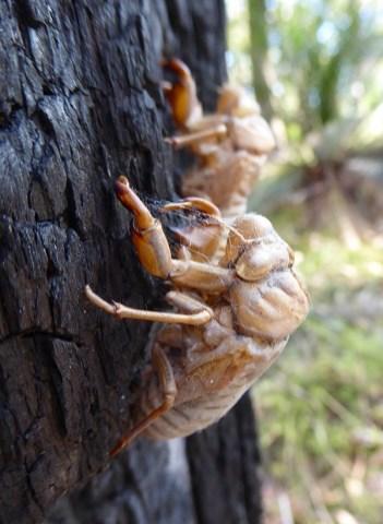 Cicada shells.