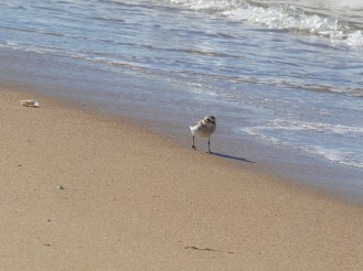 Double banded Plover.