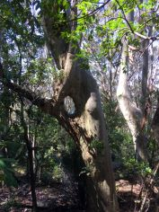 Keyhole spotted gum