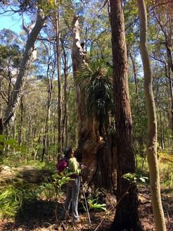 Denise appreciating a huge Snake Orchid (Cymbidium suave) growing in dead tree.