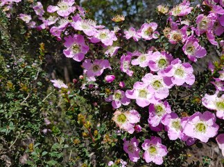 Tea tree (Leptospermum).
