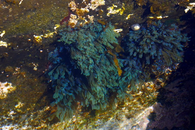 Turquoise sea weed in rock platform channel.