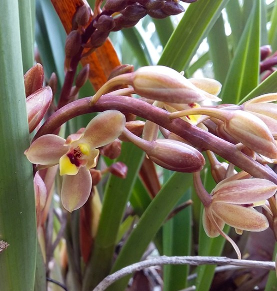 Cymbidium suave orchid flowers .