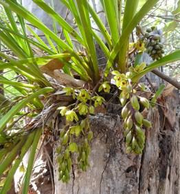 Cymbidium Suave orchids