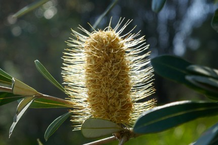 There was a great display of Banksia shining in the sunlight.