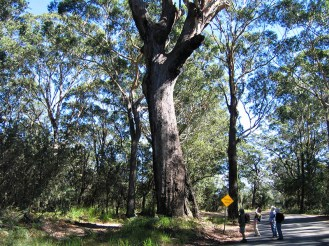 One of many large trees to interest walkers.