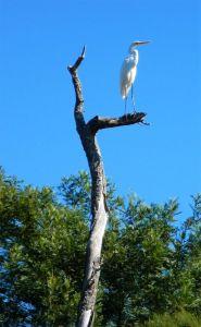 Egret standing sentinel