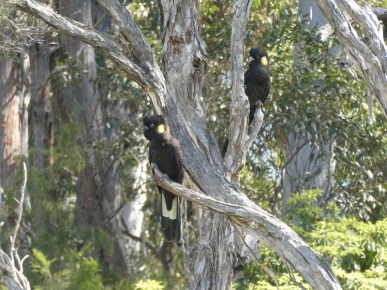 Black cockatoos spotted on the lake track