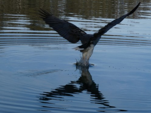 Sea Eagle catching dinner