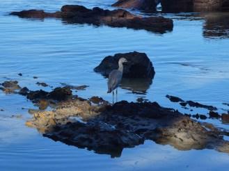 A heron fishing
