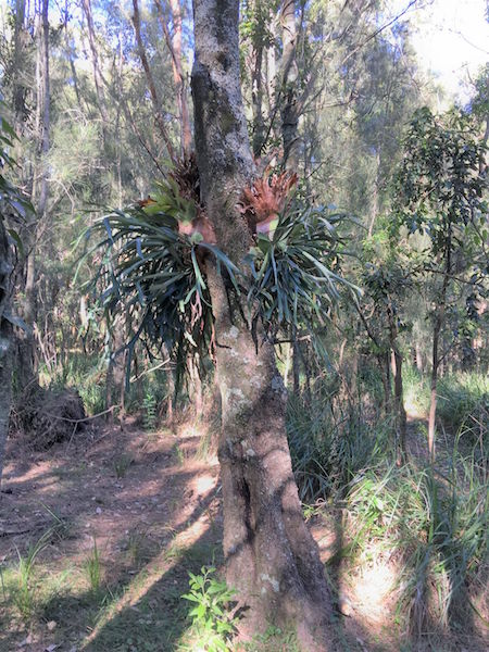 One of the elkhorns spotted living on the trees in Murramarang