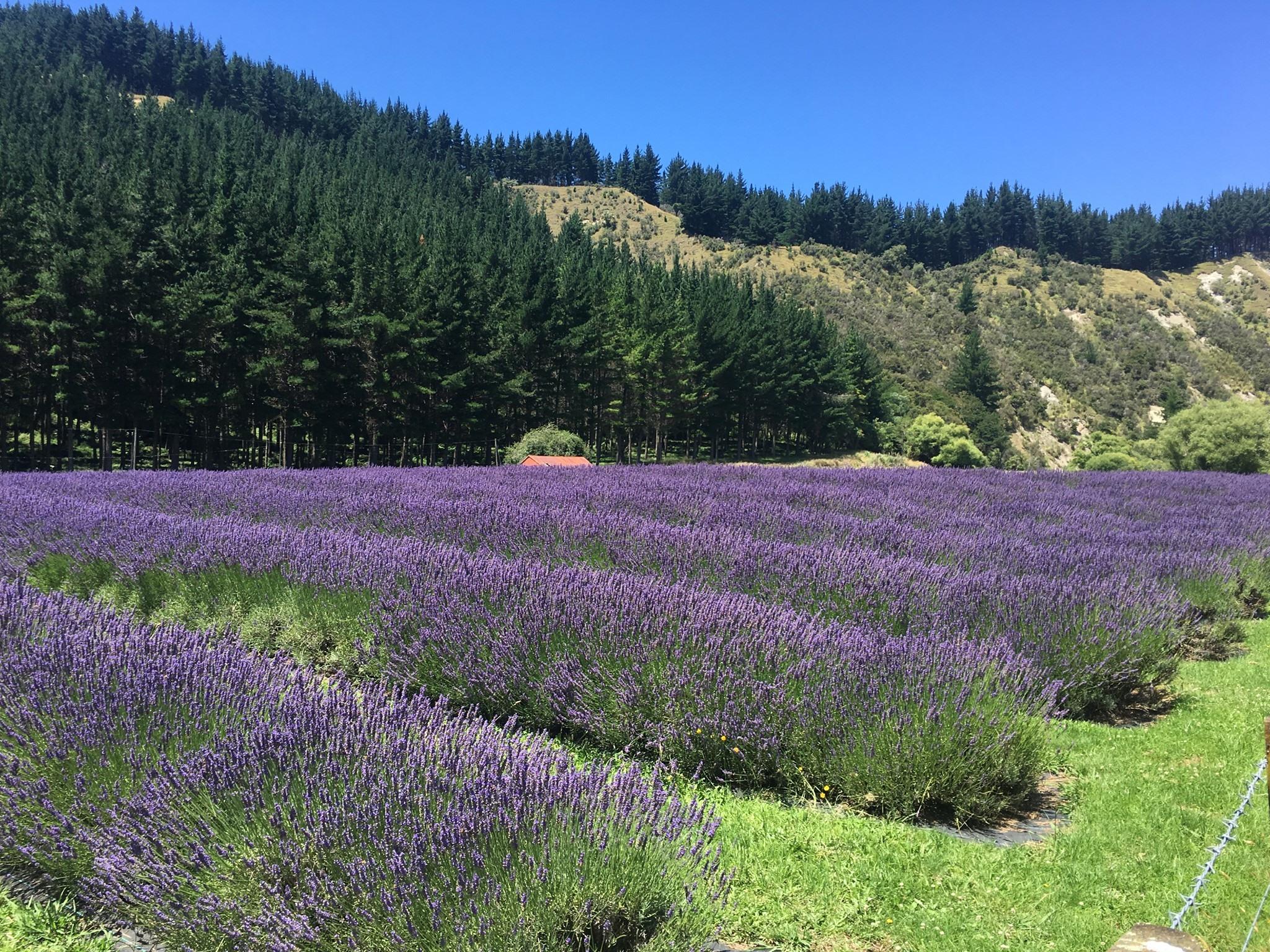 Lake Road Lavender