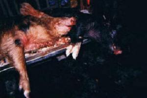 Avon Park Bombing Range -- 2 hogs caught