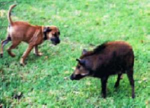 Leroy's first hog he found by himself at 6 months old -- Greg, Bert and Eugene