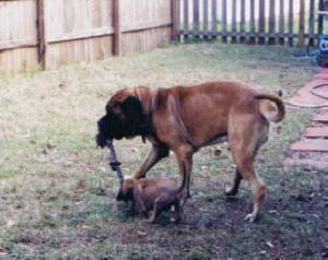 Rufus and Leroy playing tug-a-war