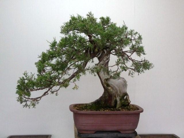 Robert Johnnys bonsai before