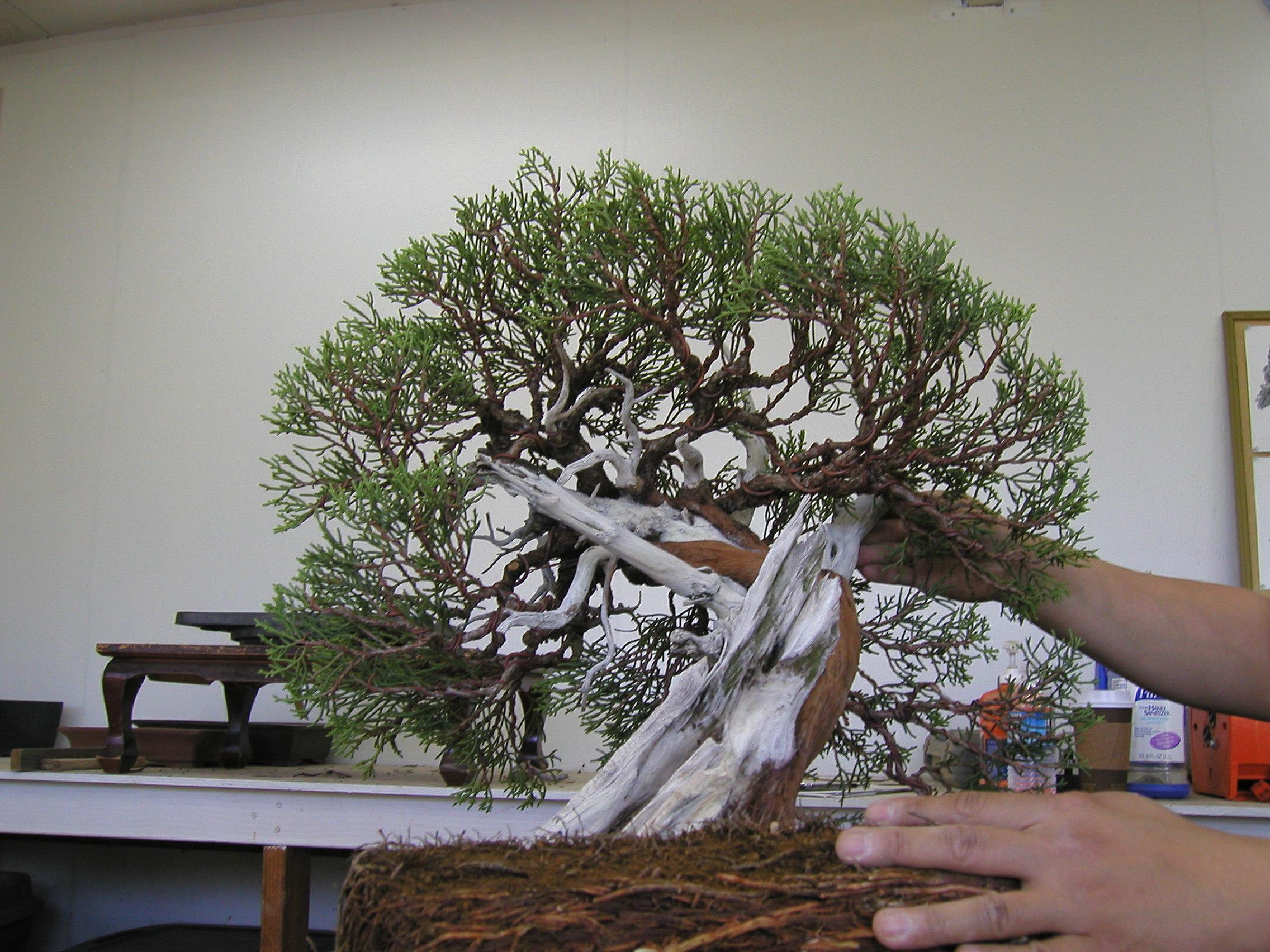 Peter bonsai branches