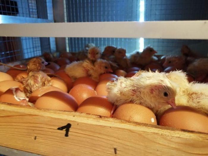 инкубационные яйца