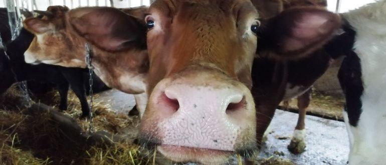 Откорм скота