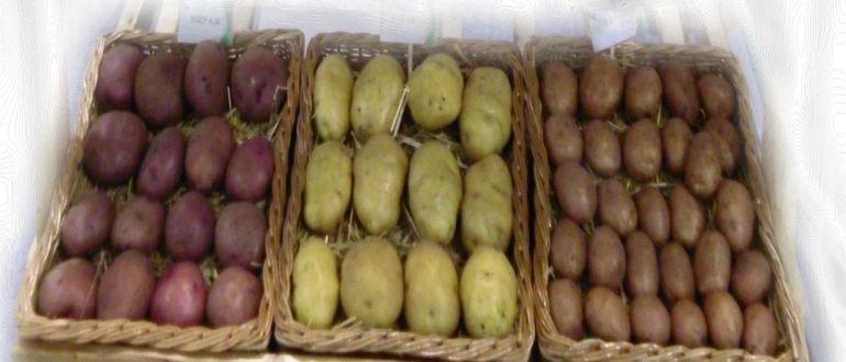выращивания картофеля и приготовление муки из картошки
