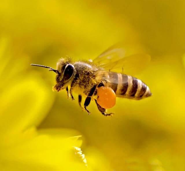кормить пчёл хлебною мукой