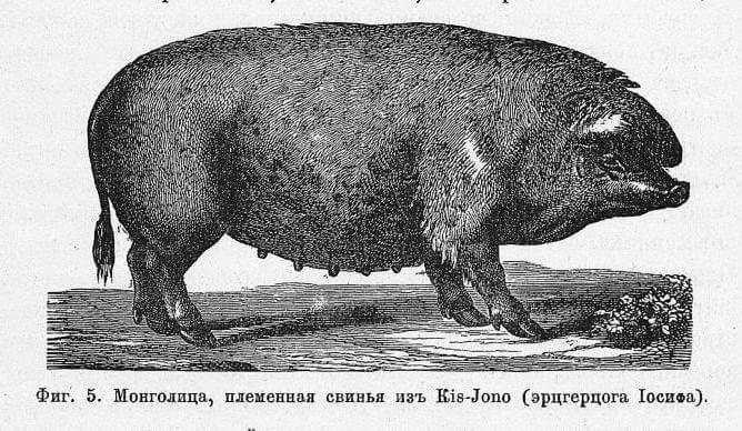 венгерская мангалица