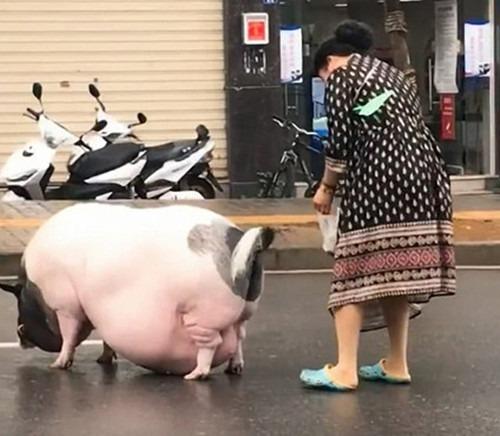 свинки могут со временем превратиться