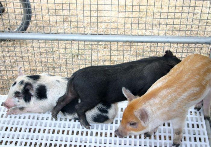Мини-пиги | Пять популярных пород свинок