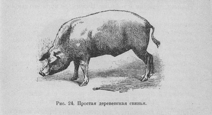 Породы русских свиней