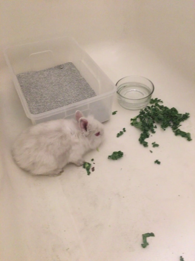 white bunny available for adoption