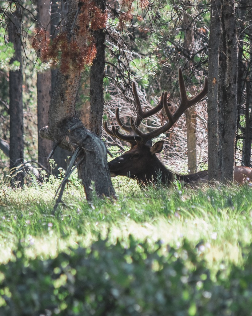 elk Yellowstone itinerary 3 days