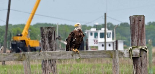 eagle-on-A-Dock-(3).jpg